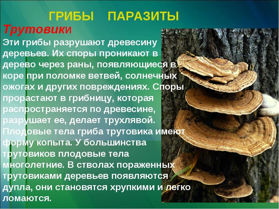 ГРИБЫ ПАРАЗИТЫ Трутовики Эти грибы разрушают древесину деревьев. Их споры про...