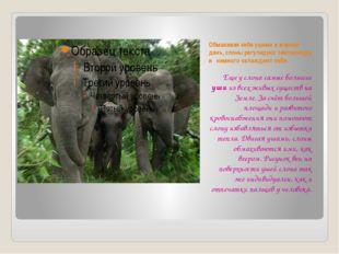 Обмахивая себя ушами в жаркий день, слоны регулируют температуру и немного ох