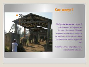 Как живут? Живут домашние слоны в специально построенных для них домиках. Кры