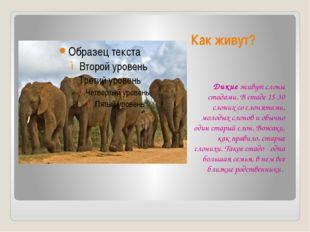 Как живут? Дикие живут слоны стадами. В стаде 15-30 слоних со слонятами, моло