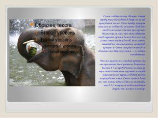 Слоны любят только свежую, сочную траву, так что ходить в джунгли за ней при