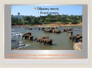 Слон набирает в хобот воды, которой помещается там 5-6 литров, и выливает себ