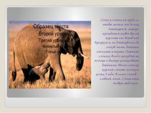 Соски у слоних на груди, и, чтобы малыш мог до них дотянуться, матери приход