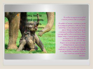 Не позднее получаса после родов слонёнок может идти за матерью. В первый год