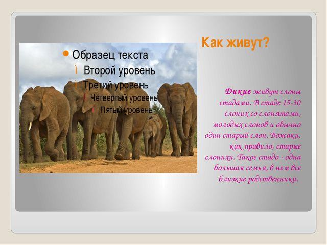 Как живут? Дикие живут слоны стадами. В стаде 15-30 слоних со слонятами, моло...