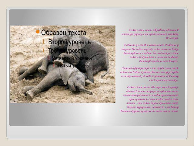 Спят слоны стоя, собравшись вместе в плотную группу. Сон продолжается порядк...