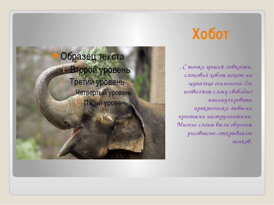 Хобот . С точки зрения ловкости, слоновий хобот похож на щупальце осьминога....