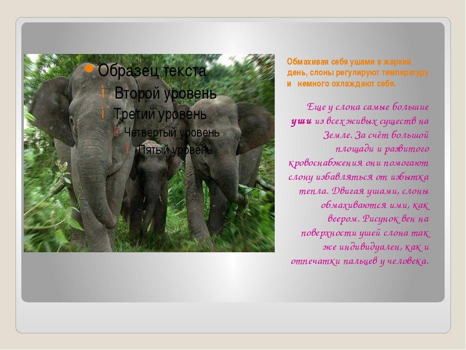 Обмахивая себя ушами в жаркий день, слоны регулируют температуру и немного ох...