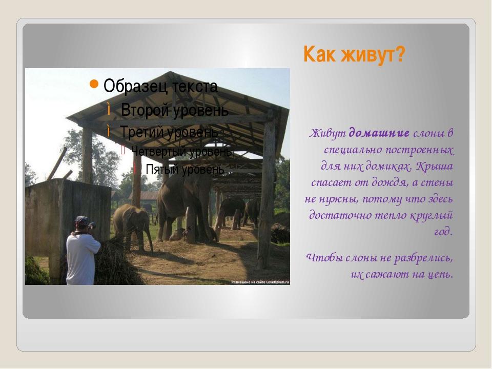 Как живут? Живут домашние слоны в специально построенных для них домиках. Кры...