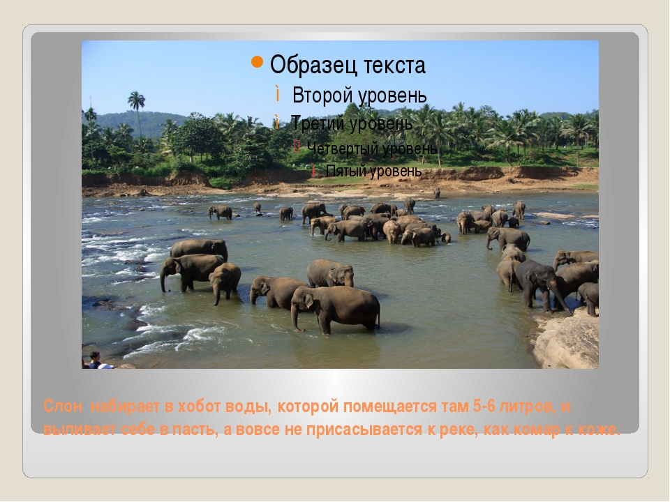 Слон набирает в хобот воды, которой помещается там 5-6 литров, и выливает себ...