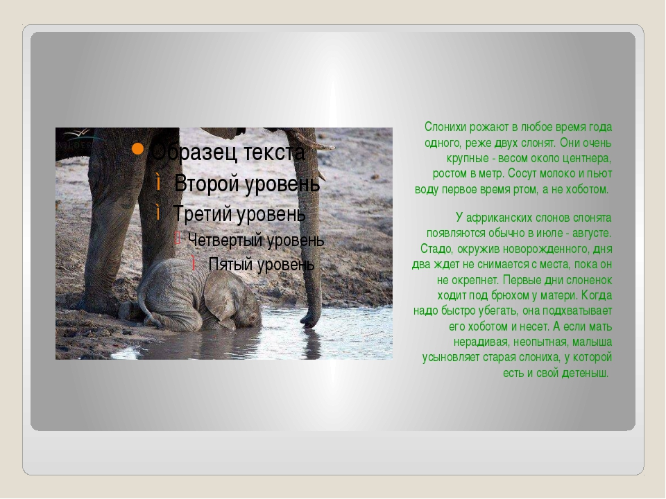 Слонихи рожают в любое время года одного, реже двух слонят. Они очень крупны...
