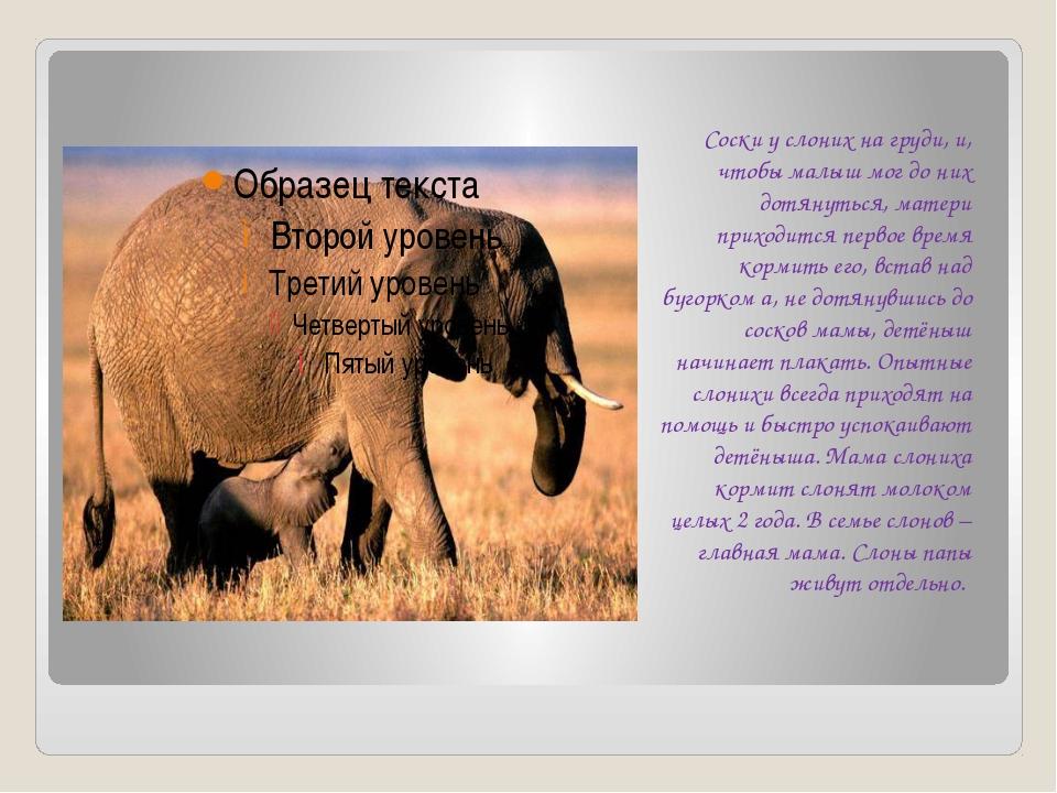 Соски у слоних на груди, и, чтобы малыш мог до них дотянуться, матери приход...