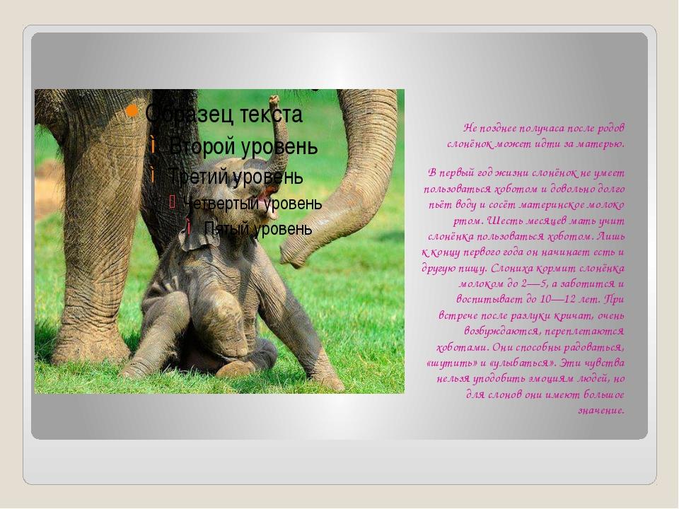 Не позднее получаса после родов слонёнок может идти за матерью. В первый год...