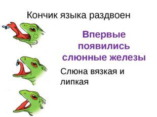 Кончик языка раздвоен Впервые появились слюнные железы Слюна вязкая и липкая