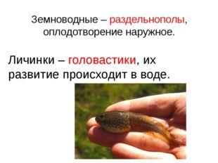 Земноводные – раздельнополы, оплодотворение наружное. Личинки – головастики,