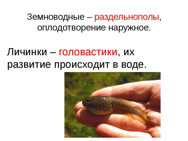 Земноводные – раздельнополы, оплодотворение наружное. Личинки – головастики,...