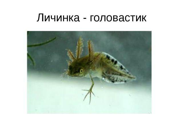 Личинка - головастик