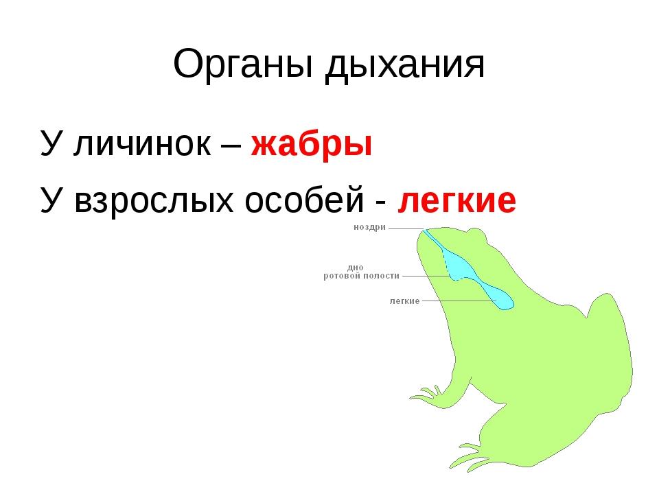 Органы дыхания У личинок – жабры У взрослых особей - легкие