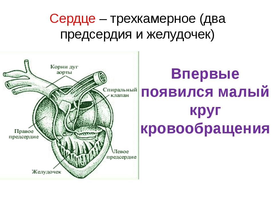 Сердце – трехкамерное (два предсердия и желудочек) Впервые появился малый кру...