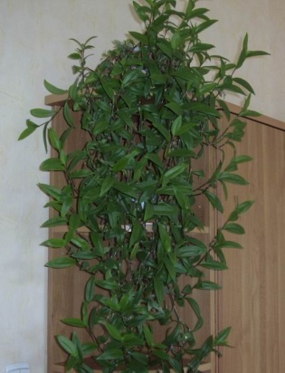 http://1.bp.blogspot.com/-gWp1Y2pw968/UKiYZWiI9GI/AAAAAAAAO-A/Hs2pvRXaows/s1600/photo-06-tradeskanciia-kommelinovye.jpg