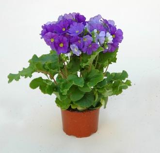 http://www.piantebrandalise.com/public/3-DSC_0089.jpg
