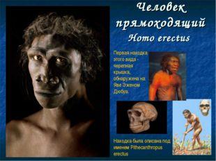 Человек прямоходящий Homo erectus Первая находка этого вида - черепная крышка