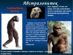 Австралопитек Australopithecus afarensis Найдены остатки более 300 особей. Мн