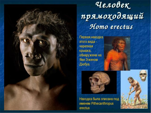 Человек прямоходящий Homo erectus Первая находка этого вида - черепная крышка...