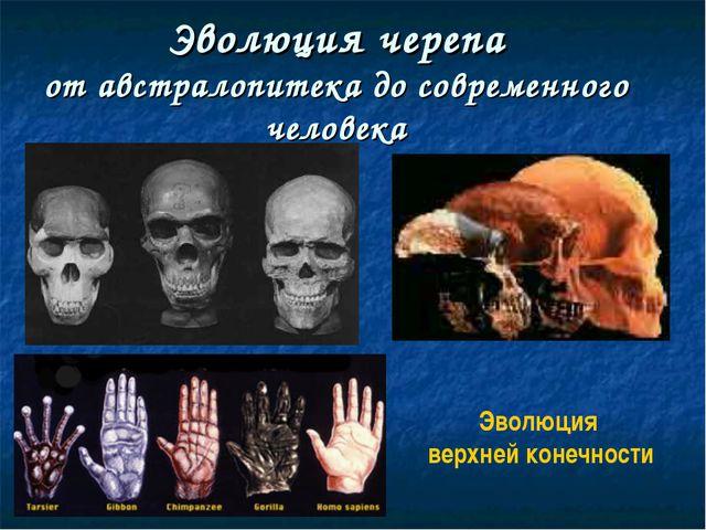 Эволюция черепа от австралопитека до современного человека Эволюция верхней к...