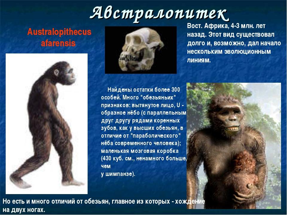 Австралопитек Australopithecus afarensis Найдены остатки более 300 особей. Мн...