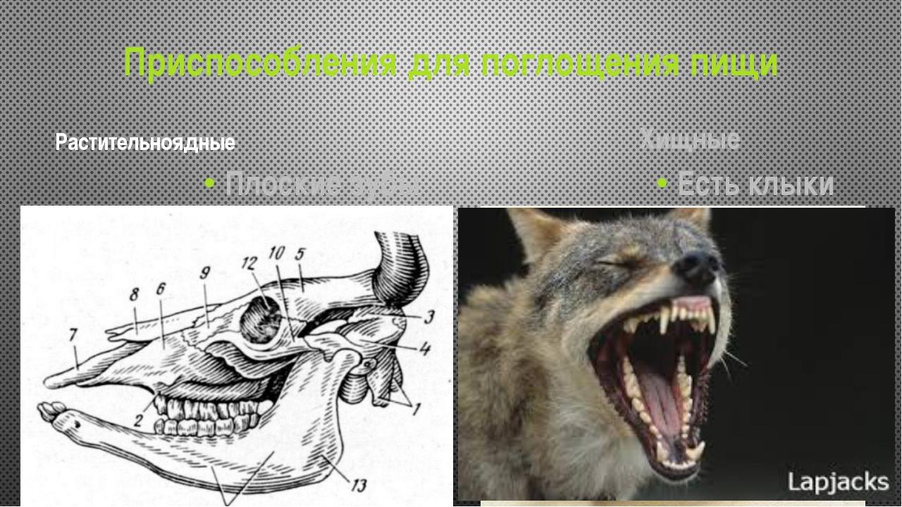 Приспособления для поглощения пищи Растительноядные Плоские зубы Хищные Есть...