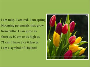 I am tulip. I am red. I am spring blooming perennials that grow from bulbs.