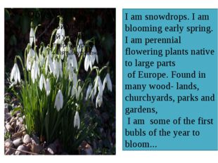 I am snowdrops. I am blooming early spring. I am perennial flowering plants n