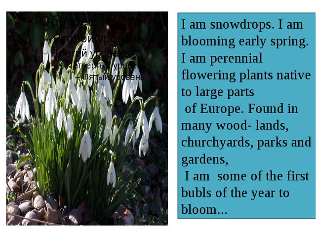I am snowdrops. I am blooming early spring. I am perennial flowering plants n...