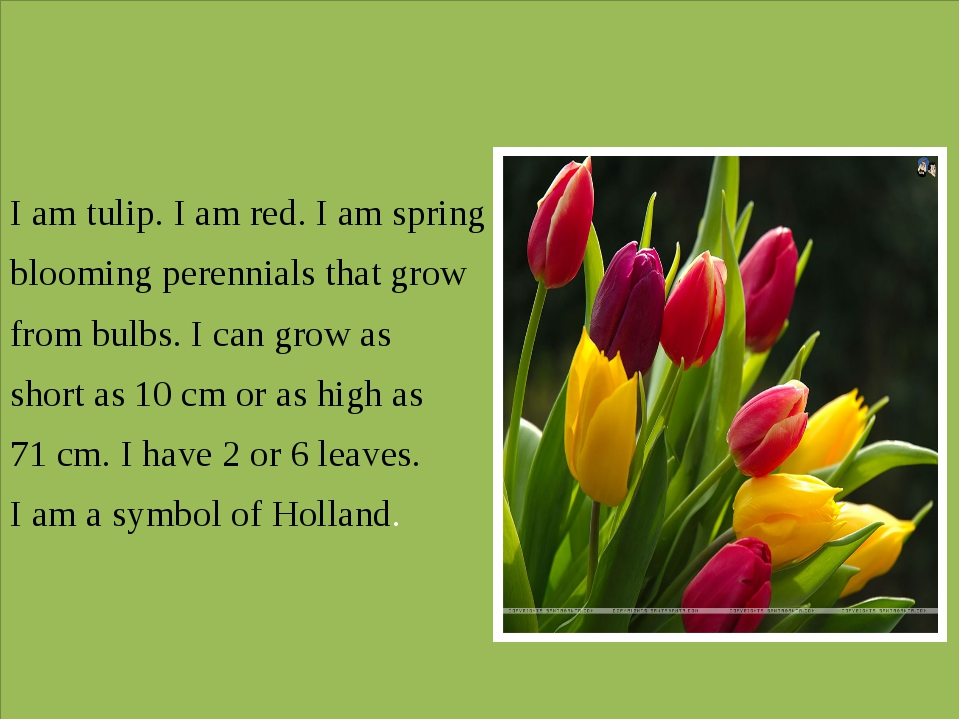 I am tulip. I am red. I am spring blooming perennials that grow from bulbs....