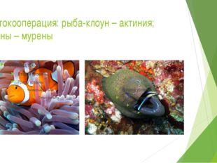 Протокооперация: рыба-клоун – актиния; губаны – мурены