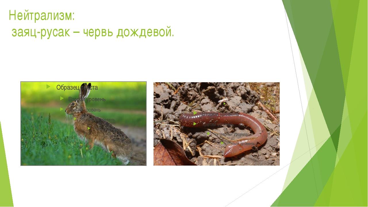 Нейтрализм: заяц-русак – червь дождевой.
