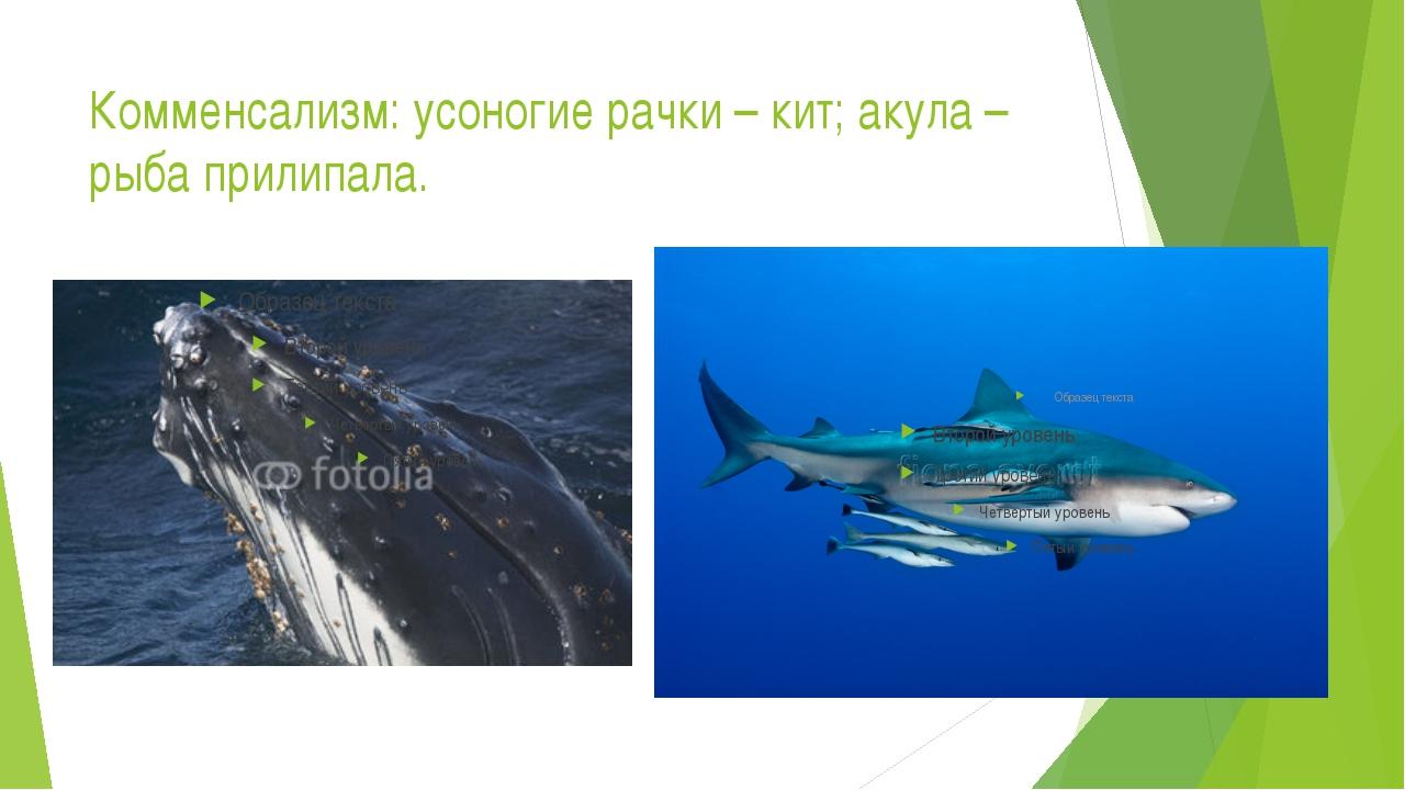 Комменсализм: усоногие рачки – кит; акула – рыба прилипала.