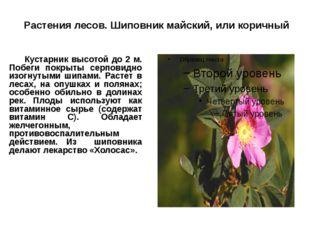 Растения лесов. Шиповник майский, или коричный Кустарник высотой до 2 м. По
