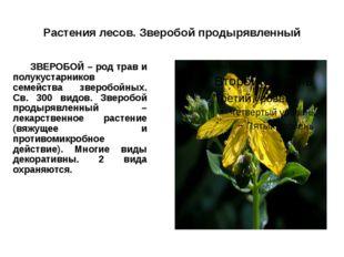 Растения лесов. Зверобой продырявленный ЗВЕРОБОЙ – род трав и полукустарнико
