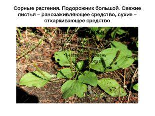 Сорные растения. Подорожник большой. Свежие листья – ранозаживляющее средство