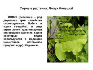 Сорные растения. Лопух большой ЛОПУХ (репейник) – род двулетних трав семейст