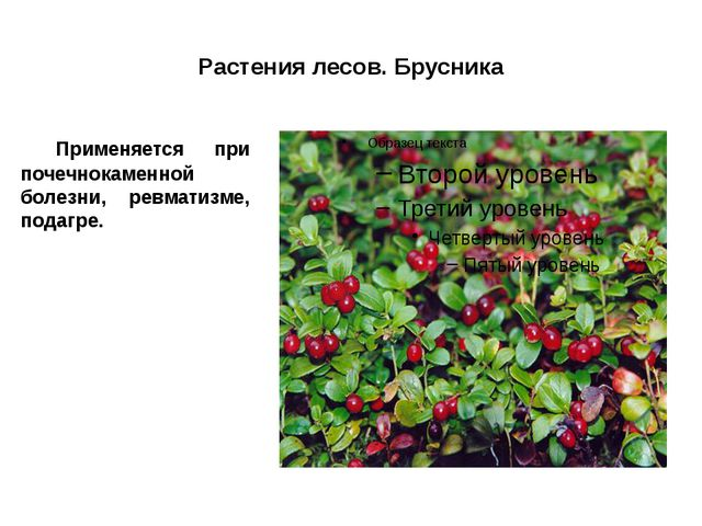 Растения лесов. Брусника Применяется при почечнокаменной болезни, ревматизме...