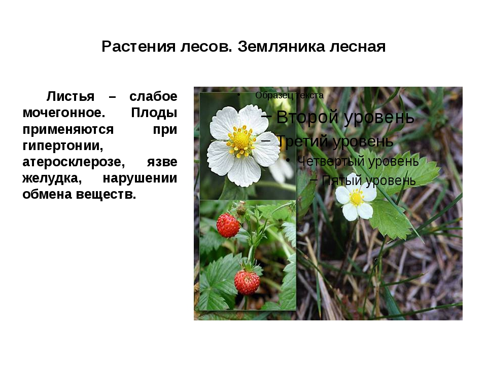 Растения лесов. Земляника лесная Листья – слабое мочегонное. Плоды применяют...