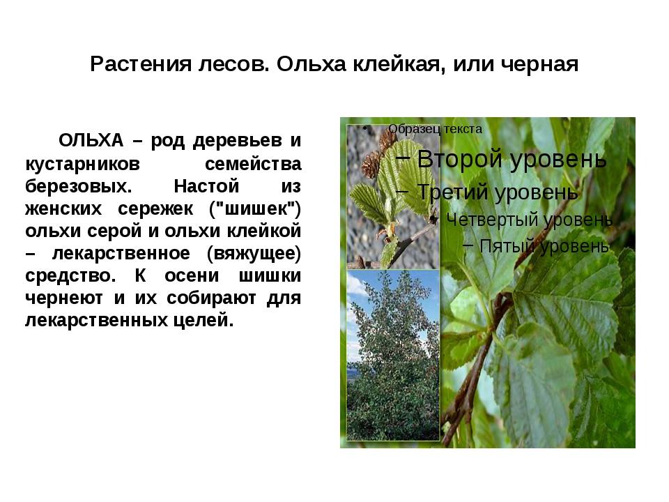 Растения лесов. Ольха клейкая, или черная ОЛЬХА – род деревьев и кустарников...