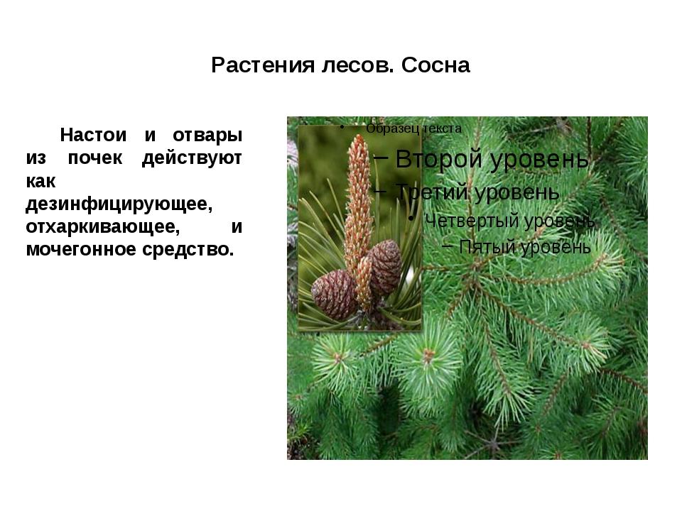 Растения лесов. Сосна Настои и отвары из почек действуют как дезинфицирующее...