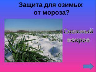 Защита для озимых от мороза?