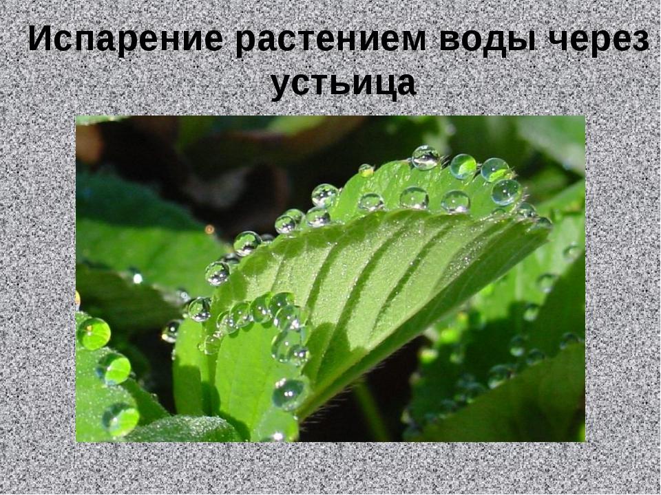 Испарение растением воды через устьица