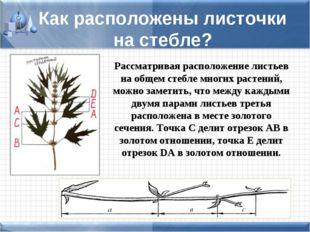 Как расположены листочки на стебле? Рассматривая расположение листьев на обще