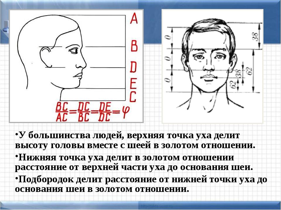 У большинства людей, верхняя точка уха делит высоту головы вместе с шеей в зо...